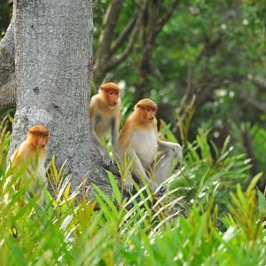 Labuk Bay Proboscis Monkey